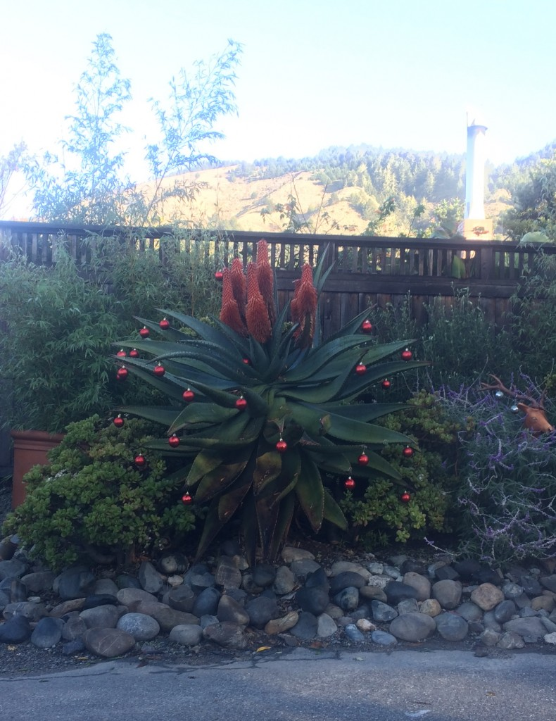 Christmas succulent in Stinson Beach, CA