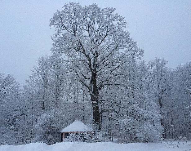 Maple tree in snow